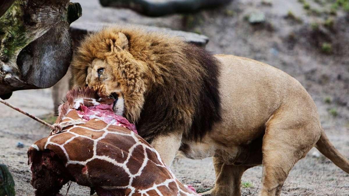 zoo frankfurt und opel zoo kronberg lehnen giraffent tung. Black Bedroom Furniture Sets. Home Design Ideas