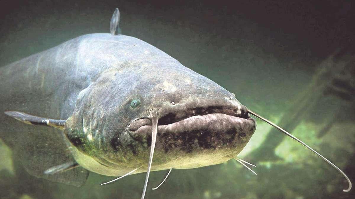Welse im main immer gr er riesen welse tummeln sich im for Fisch bilder