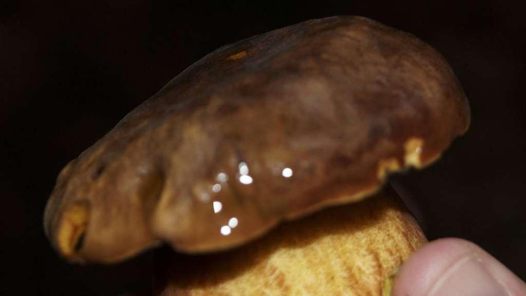 experte erkl rt worauf pilzsammler achten durch regen schon jetzt pilzsaison beginnt hessen. Black Bedroom Furniture Sets. Home Design Ideas