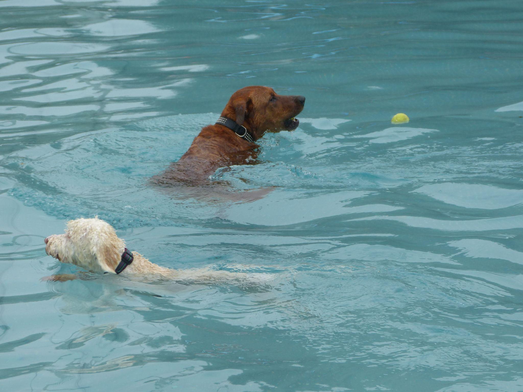Hunde Schwimmen