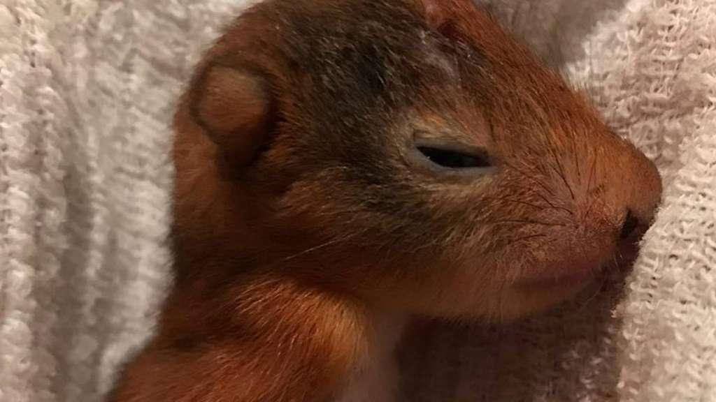 Eichhörnchen gereift dick für Sex