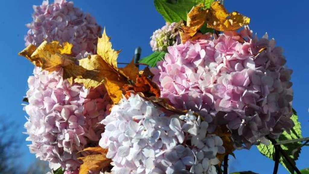 Hortensien Schneiden: Wann Und Wie Werden Sie Gestutzt