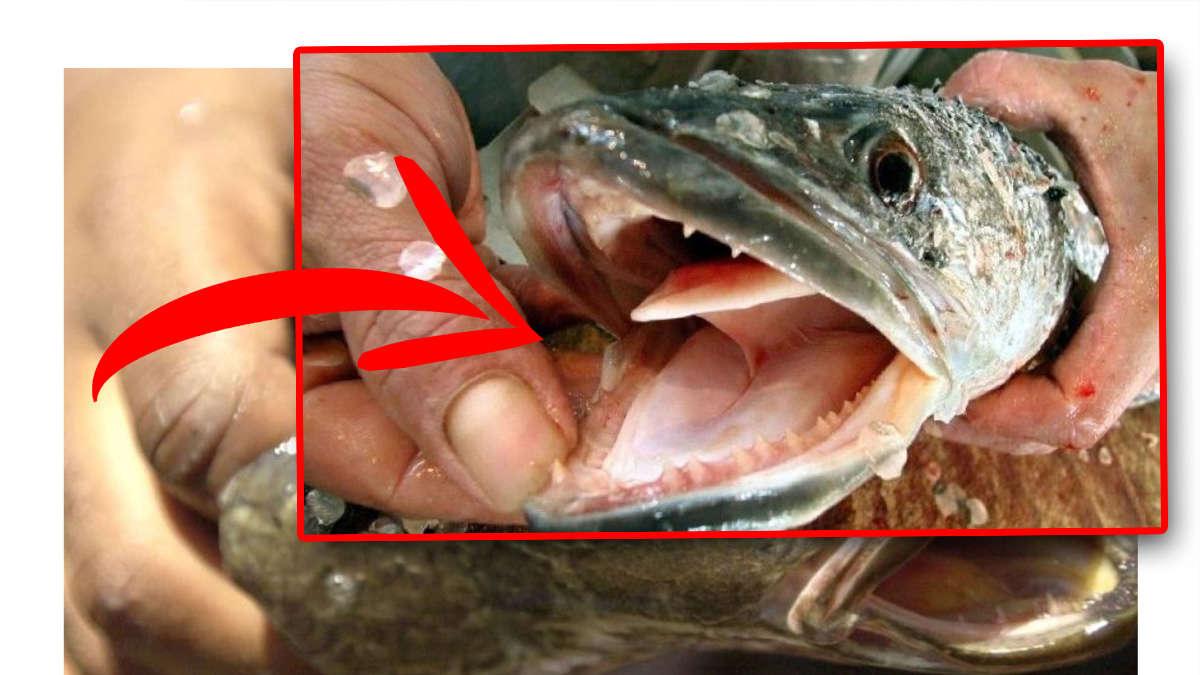 """Monster-Fisch entdeckt! """"Sofort töten"""" - Behörden warnen vor Schlangenkopffisch"""