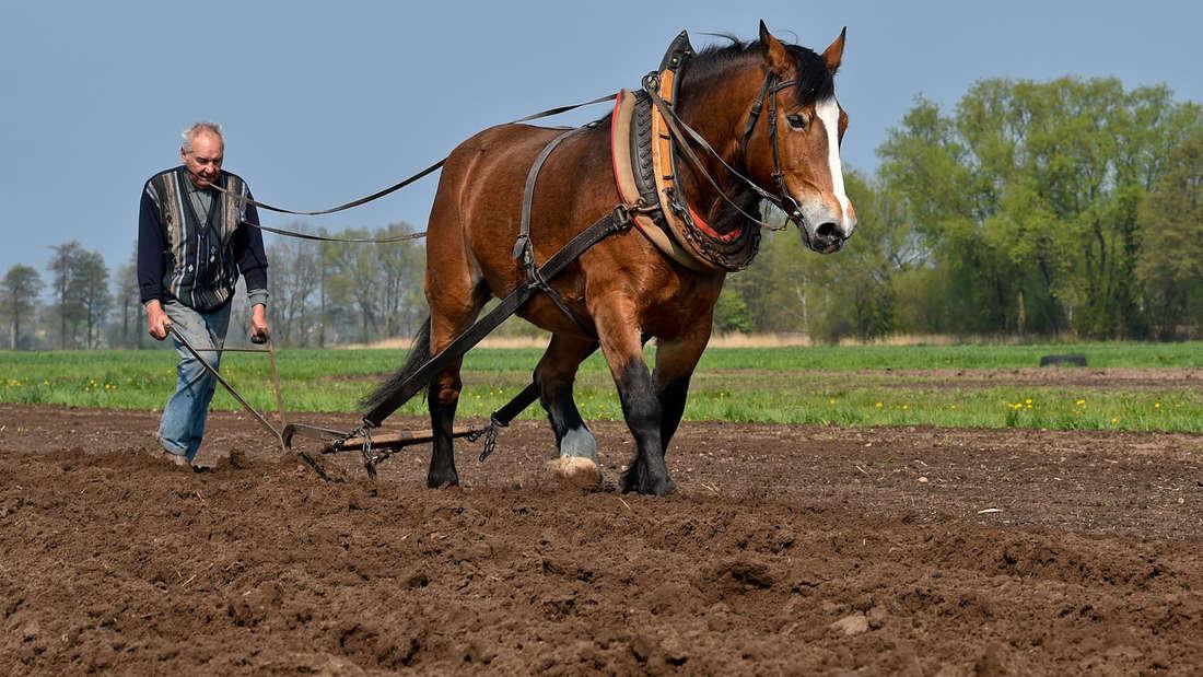 Pferde kommen als Nutztier in der Landwirtschaft zum Einsatz.