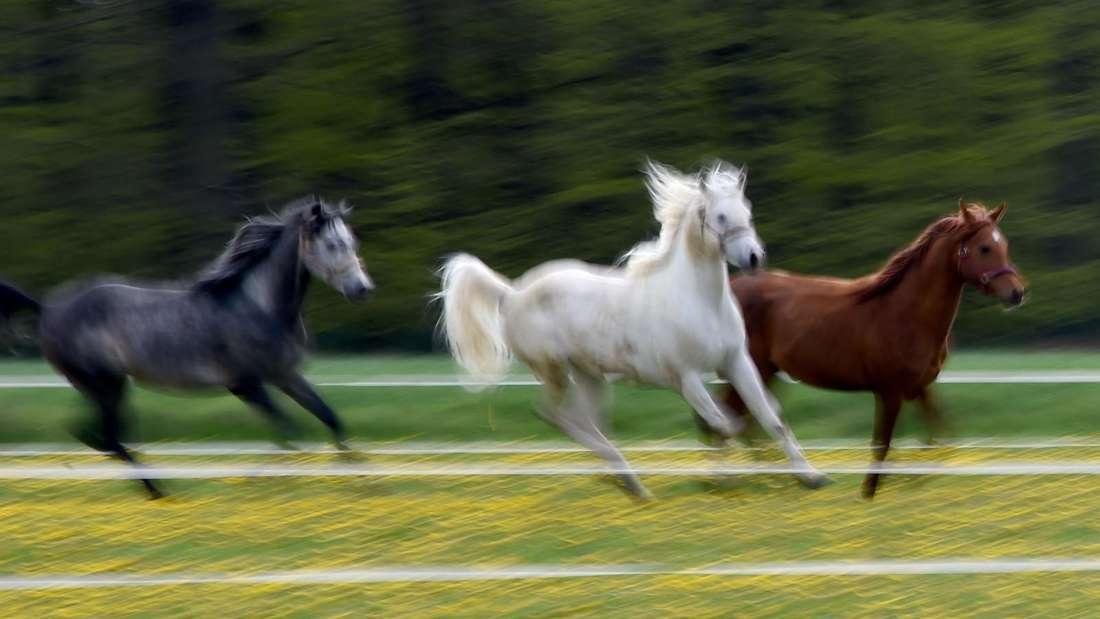 Die teuersten Pferderassen der Welt sind mehrere Tausend Euro wert.