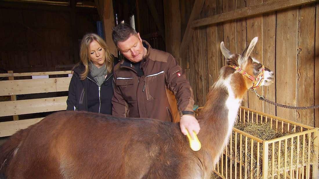 Bauer sucht Frau: Henry bürstet ein Alpaka, Sabine schaut ihm über die Schulter