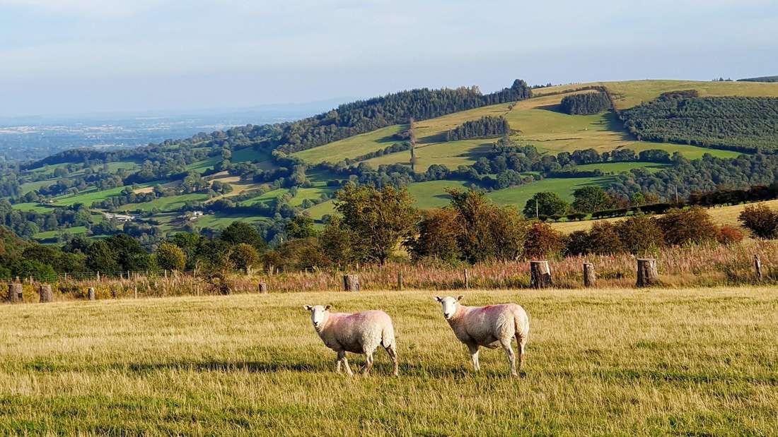 Schafe grasen auf einer sonnigen Weide in Wales