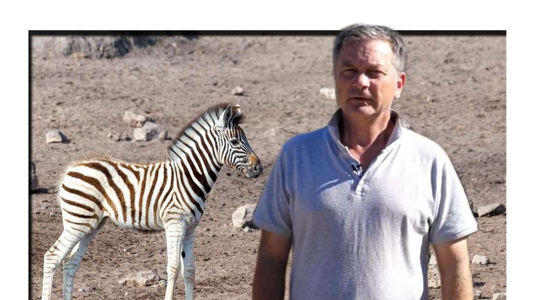 "Fotomontage: ""Goodbye Deutschland""-Auswanderer Olaf Heidtke und Zebra in Dürre"